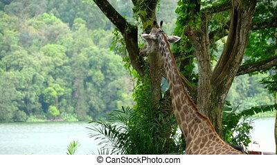 Giraffe in savannah - Giraffe against of some green trees,...