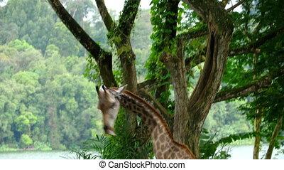Giraffe against of some green trees, national park