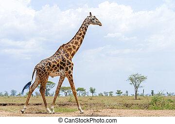 Giraffe in Serengeti National Park in Tanzania in East ...