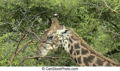 Giraffe  in South Africa - Eating Giraffe  in South Africa