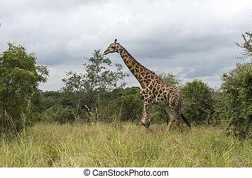 giraffe in south africa - walking giraffe in south africa on...