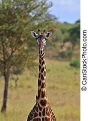 giraffe, in, tarangire nationalpark, tansania