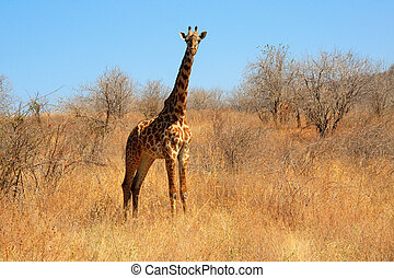 Giraffe in the bush (landscape) - young giraffe in the bush...