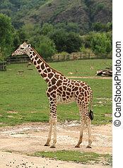giraffe in the green nature