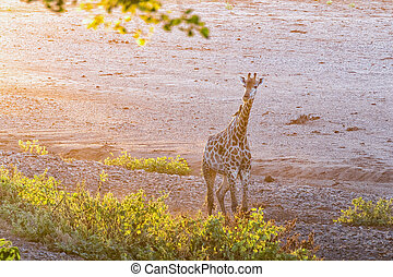 Giraffe in the last rays of sunlight