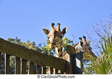 Giraffe in the nature