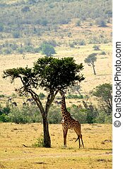 Giraffe in the wild