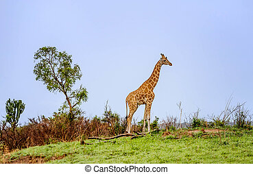 Giraffe in the wild,Tanzania, Africa