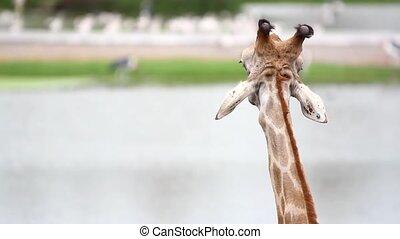 giraffe in the zoo safari park. HD. 1920x1080