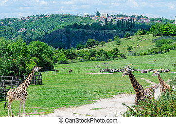Giraffe in zoo Prague, clean nice day