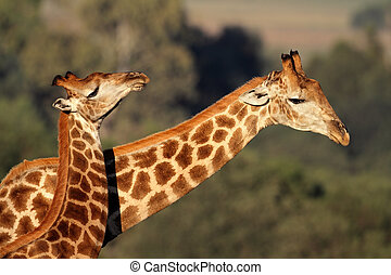 Giraffe interaction - Interaction between two giraffes (...