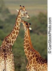 Giraffe interaction - Interaction between two giraffes...