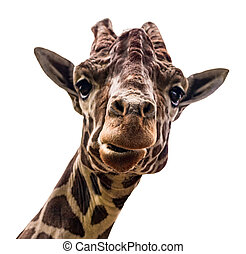 giraffe isolate on white background with clipping path