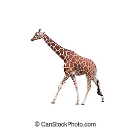Giraffe,  isolated on a white background