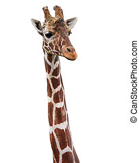 A giraafe from the neck up isolated on a white background. A clipping path is included.
