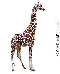 Giraffe isolated.  - Giraffe isolated.