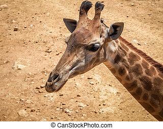 Giraffe, Jerusalem Biblical Zoo in Israel