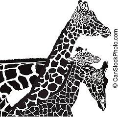 giraffe, köpfe
