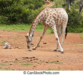 Giraffe licking salt on the ground bending