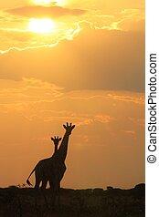 giraffe, liebe, von, sonnenuntergang, gold