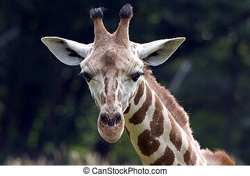 Giraffe looking at you - Rothschild Giraffe checking you out