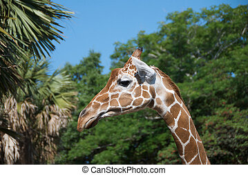 Giraffe looking for a meal