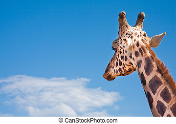 Giraffe looking in the distance