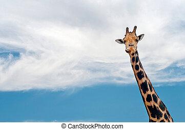Giraffe neck and head against the clear blue sky