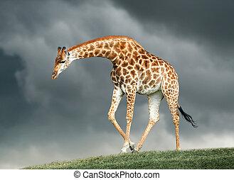 giraffe on a green hill