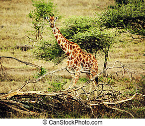 Giraffe on African savanna