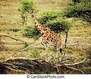 Giraffe on African savanna