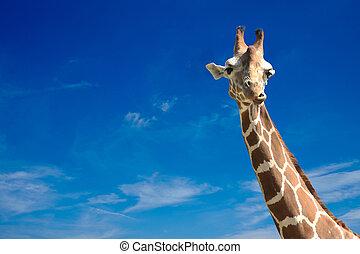 giraffe on blue sky