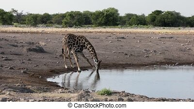 drinking Giraffe camelopardalis on Etosha National park waterhole, Namibia safari wildlife