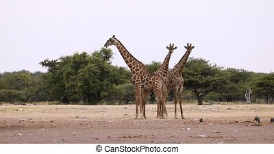 group of cute Giraffe camelopardalis on Etosha National park waterhole, Namibia safari wildlife