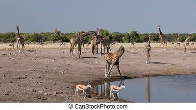group of Giraffe camelopardalis and other animals on Etosha National park waterhole, Namibia safari wildlife