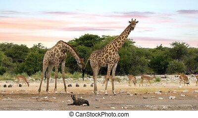 Giraffe on Etosha with stripped hyena, Namibia safari...