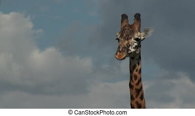 Giraffe on plain - Giraffe (Giraffa camelopardalis...