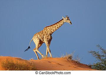 Giraffe on sand dune