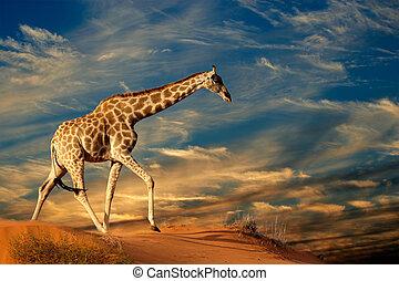 Giraffe on sand dune - Giraffe (Giraffa camelopardalis) ...