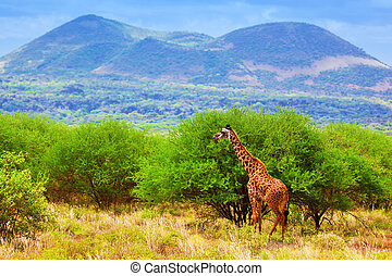 Giraffe on savanna. Safari in Tsavo West, Kenya, Africa