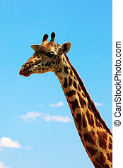 giraffe on sky (portrait) - giraffe head and neck on sky...
