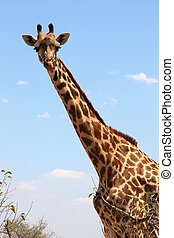 Giraffe on sky . Ruaha National Park, Tanzania, Central...