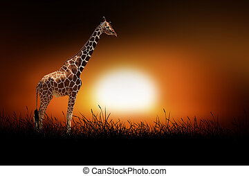 Giraffe on the background of sunset