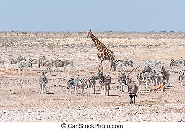 Giraffe, oryx, springbok and Burchells zebras in Northern Namibia