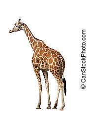 Giraffe - Photo of a giraffe, isolated over white