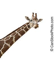Giraffe - An isolated photo of a giraffe\\\'s neck and head