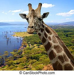 Giraffe in savannah in their natural habitat