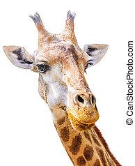 Giraffe - Close up shot of giraffe head isolate on white