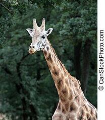 giraffe, porträt