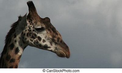 Giraffe portrait - Giraffe (Giraffa camelopardalis...